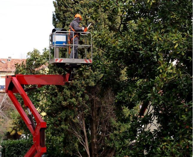 Man Trimming a Tree
